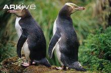 Yellow-eyed-penguin-pair