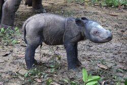 Sumatran rhino baby afp