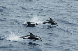 Hourglas dolphin