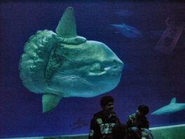 800px-Mola mola ocean sunfish Monterey Bay Aquarium 2