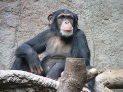 Common Chimp