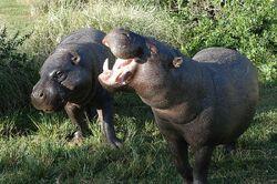 Pygmyhippopotamus