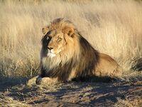 LionNamibia
