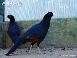 Alagoas-curassow-captive-populationn