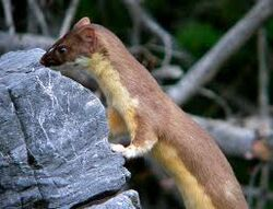 Yellow-bellied Weasel