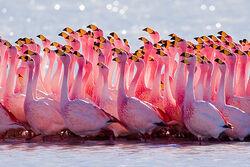 A Flock Of James Flamingo