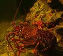 Japanese Spiny Lobster