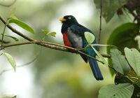 Trogon comptus (male) -NW Ecuador
