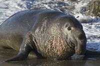800px-Northern Elephant Seal, Piedras Blancas, San Simeon, CA 02feb2009