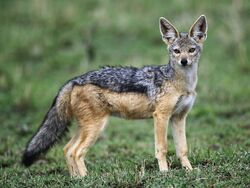 Black backed jackal desktop wallpaper 96827