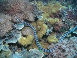 Belcher' s Sea Snake