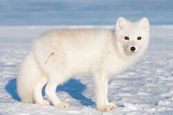 Arctic Fox2