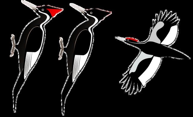 File:Ivory-billed Woodpecker.png