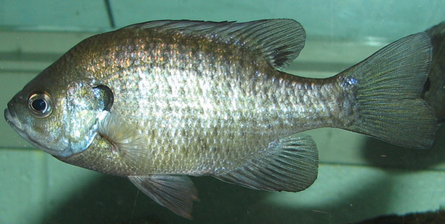 File:Bluegill.png
