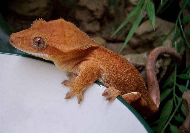 File:Crested Gecko.png