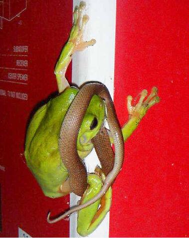 File:Green Tree Frog Eating Snake.jpg