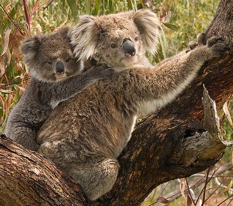File:Koala.png