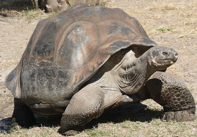 File:Galapagos Giant Tortoise.png
