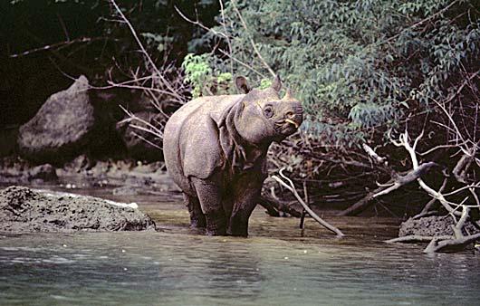 File:Javan Rhinoceros.png