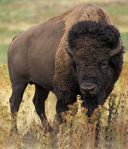 File:American Bison.png