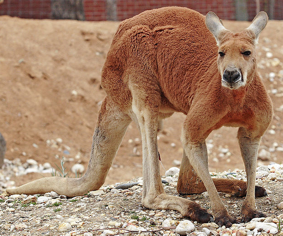 File:Red Kangaroo.png