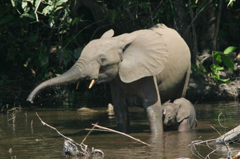 File:African Forest Elephant.png
