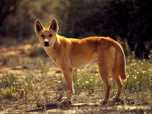 dingo australie