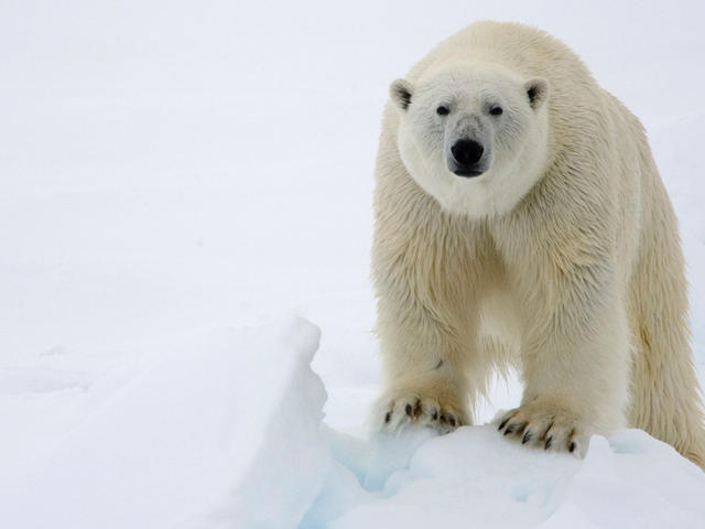 File:PolarBear.jpg