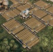 Wheat-farm