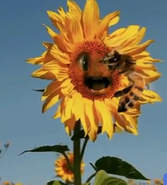 Bee devouring another flower