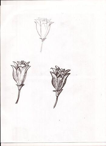 File:Tulip sketch.jpg