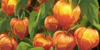 Japanese Lantern Plant