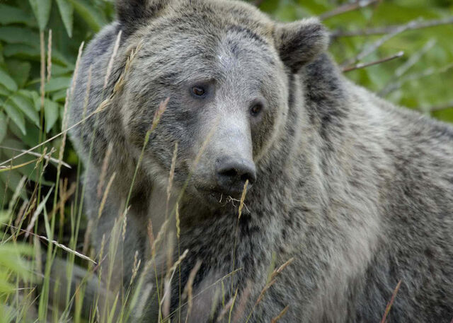 File:800px-Grizzly Bear Yellowstone.jpg