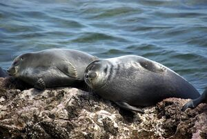 Phoca sibirica baikal seal