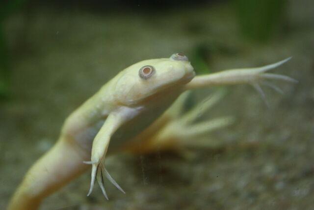 File:Albino X. laevis.jpg