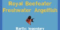 Royal Beefeater Freshwater Angelfish