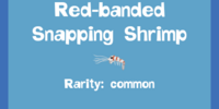 Red-banded Snapping Shrimp