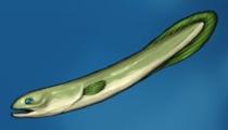 Fish eel