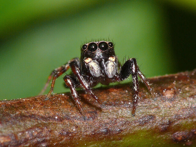File:Jumping-spider.jpg