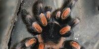 Mexican redknee tarantula