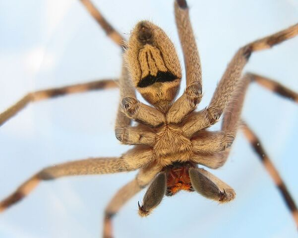 File:752px-Sparassidae Palystes superciliosus Male Ventral Aspect 0110s.jpg