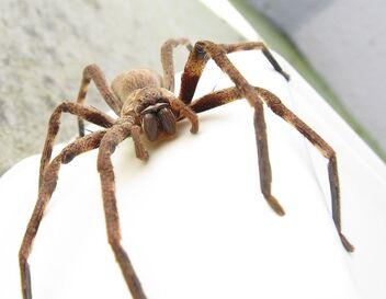 772px-Sparassidae Palystes castaneus mature female 9923s