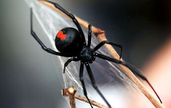 Black-widow-spider-425rb100809