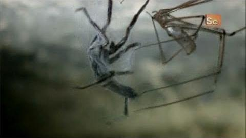 Monster Bug Wars- Cellar Spider Vs. White-Tailed Spider