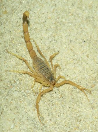 Deathstalker-scorpion-from-the-front-2gxktzj