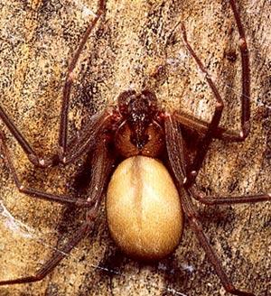 File:Brown-recluse.jpg