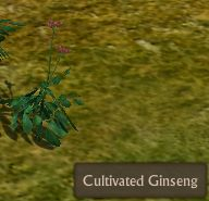 File:Cultivated Ginseng Mature.jpg