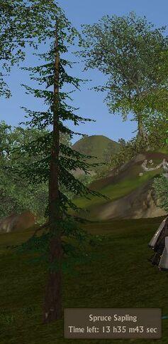 Spruce sapling