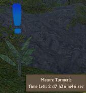 Tumeric Mature