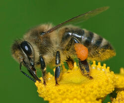 Apis mellifera Western honey bee